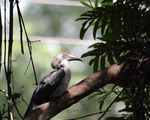 Sri Lankan Grey Hornbill