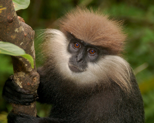 Purple-faced Langur