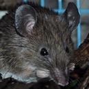 Sri Lankan Spiny Mouse