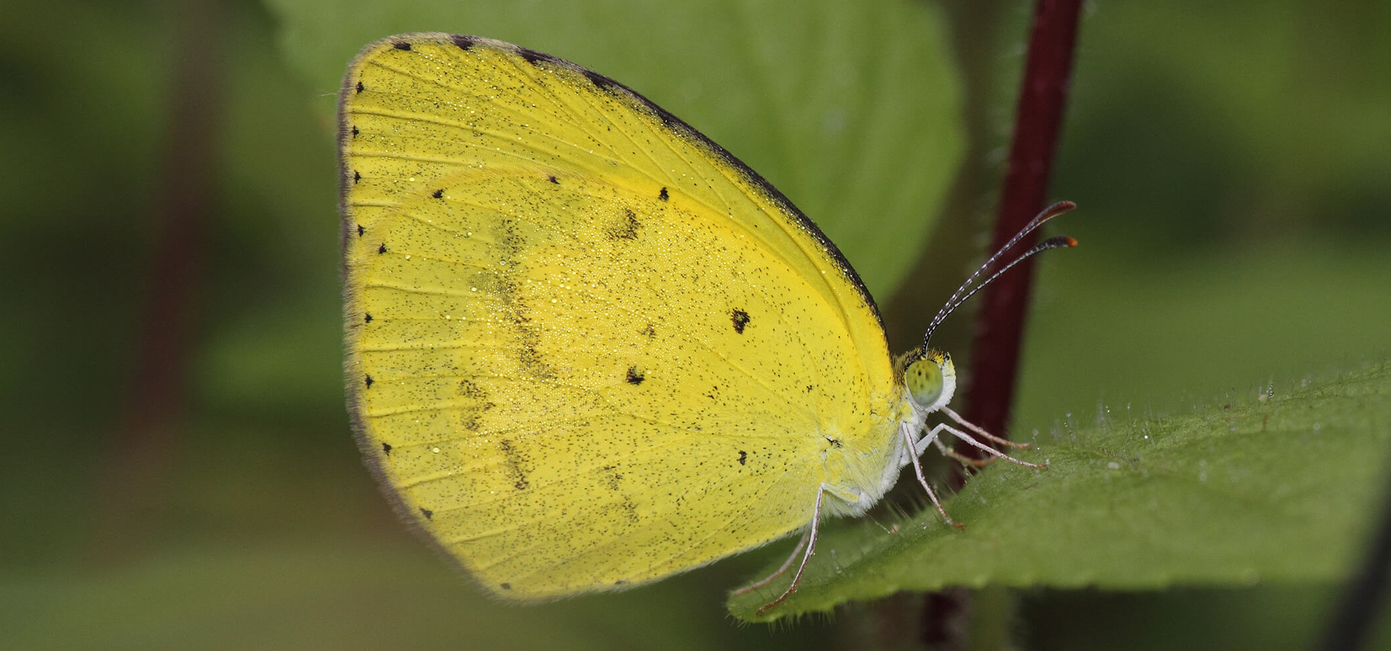 Small Grass Yellow