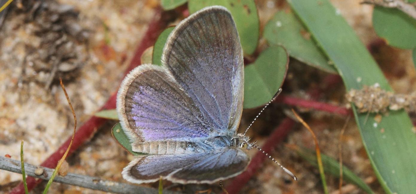 Lesser Grass Blue