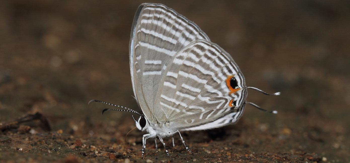 Common Cerulean