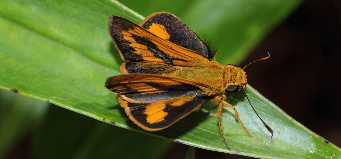 Dark Palm Dart