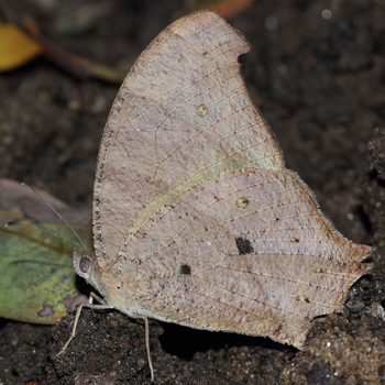 Common Evening Brown