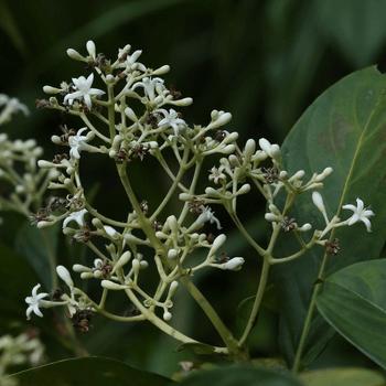 Pera-thambala