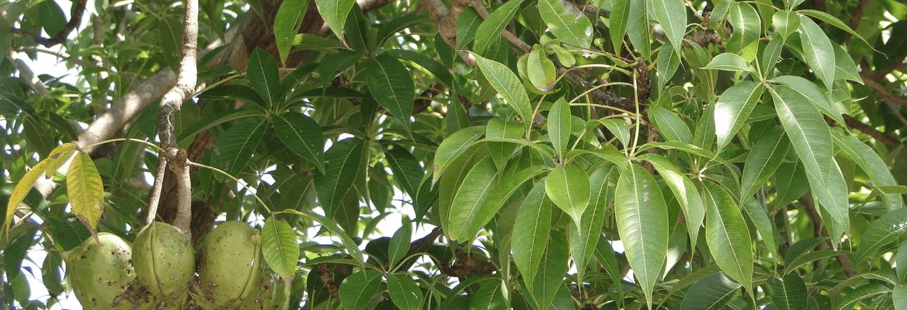 Thelambu