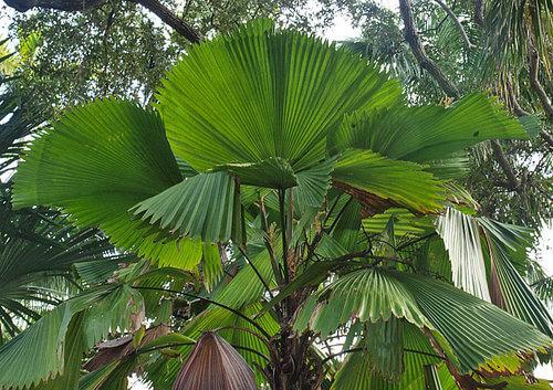 Ruffled Fan Palm (E)