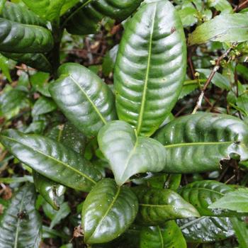 Kalu-wal-gonika
