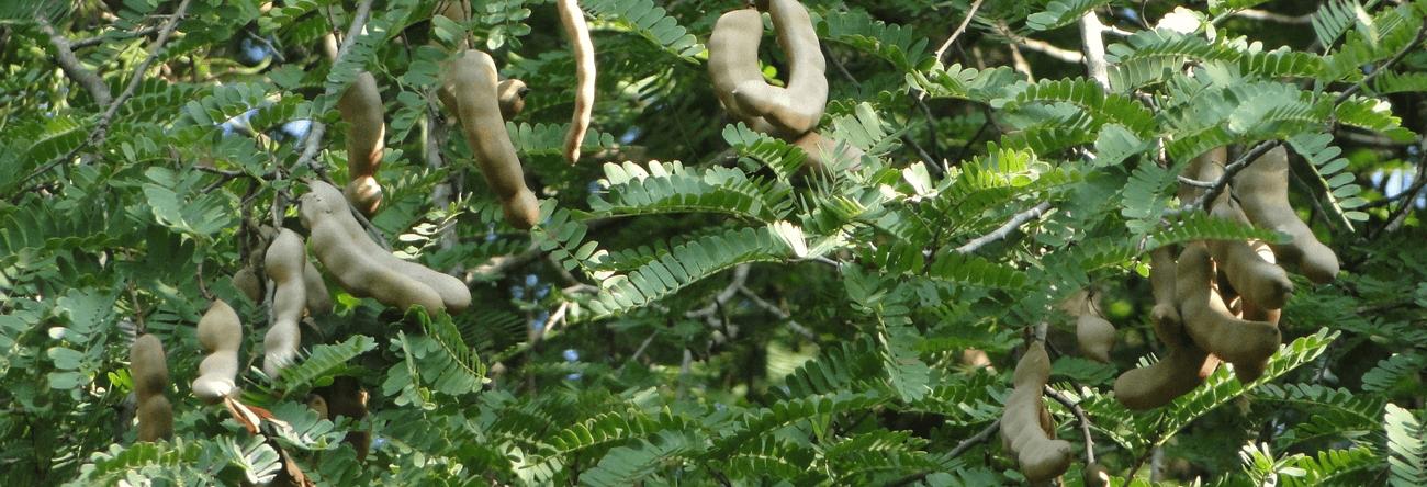 Siyambala