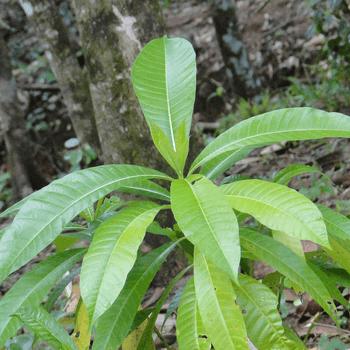 Ginikuru