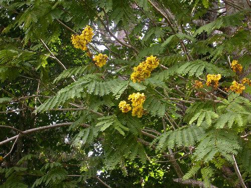 Yellow-flame tree