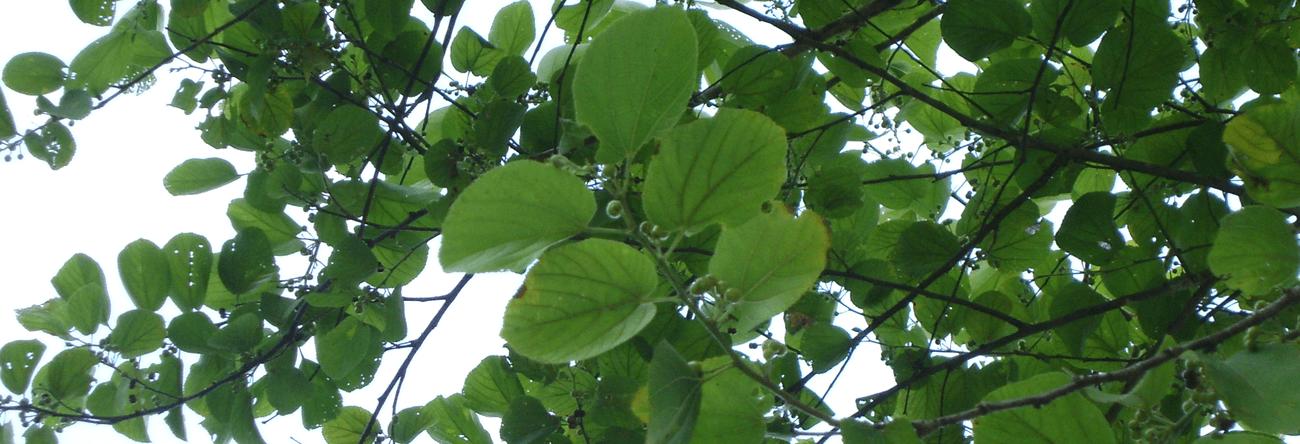 Daminiya