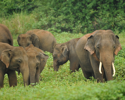 Are Elephants Mammals >> Asian Elephant Mammals In Sri Lanka Dilmah Conservation