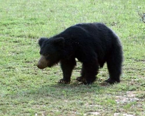 Sri Lankan Sloth Bear