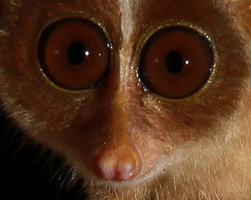 Sri Lankan Red Slender Loris