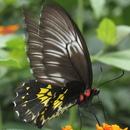 Ceylon Birdwing