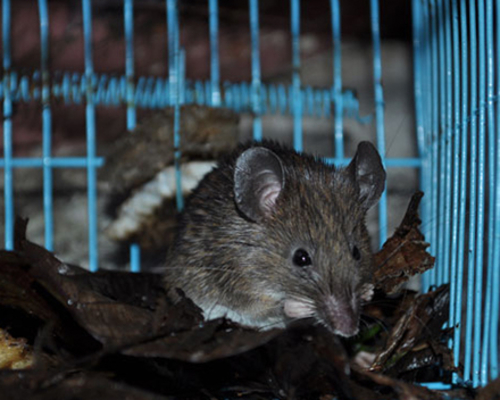 Sri Lankan Spiny Mouse