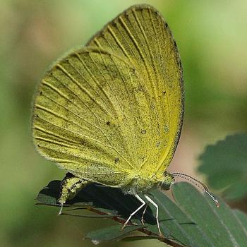 Small Grass Yellow