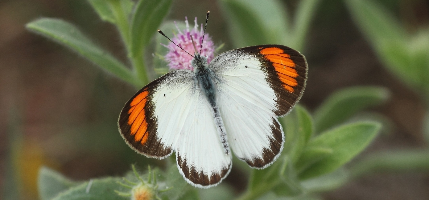 Little Orange Tip
