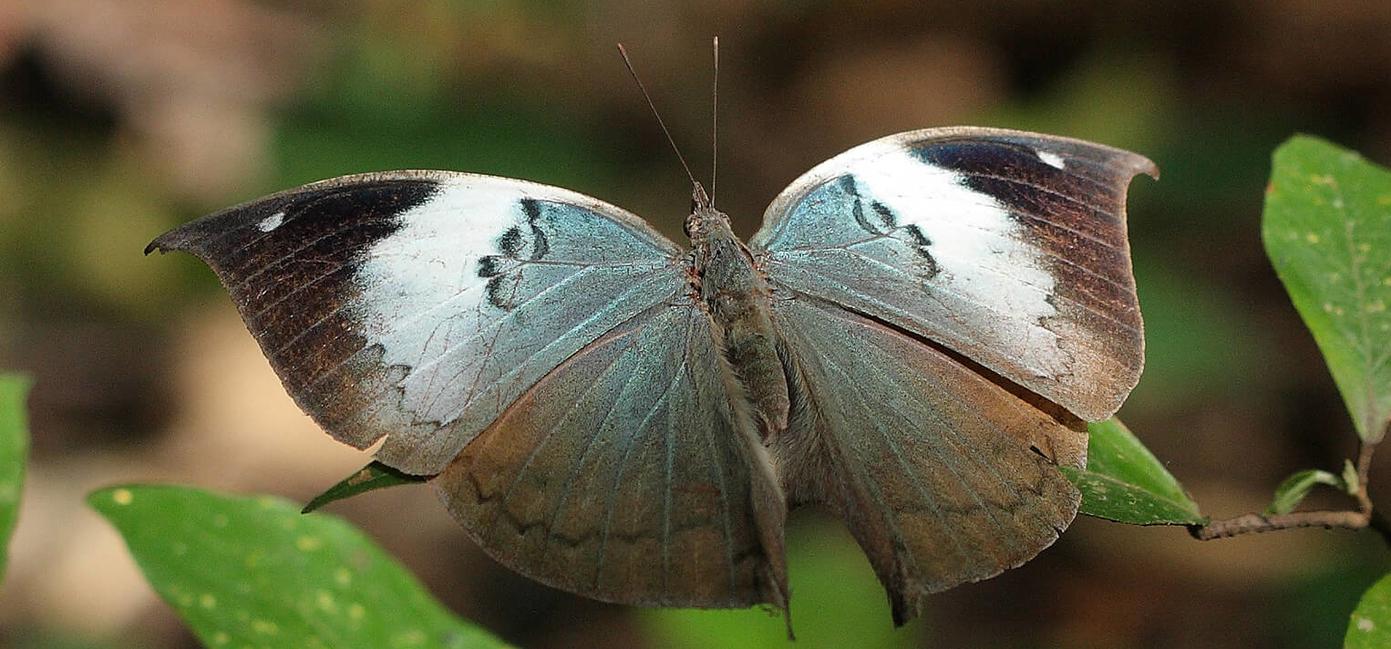 Sri Lankan Blue Oak Leaf