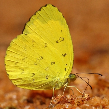 Three Spot Grass Yellow