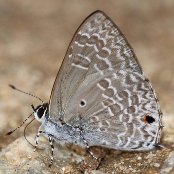 Pointed Ciliated Blue