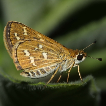 Common Grass Dart
