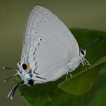 Peacock Royal