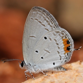Indian Cupid Butterfly | Everes lacturnus | Butterflies of