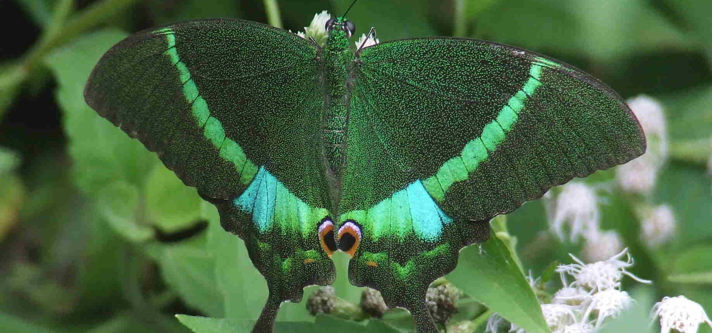 Banded Peacock