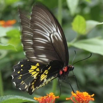 Sri Lankan Birdwing