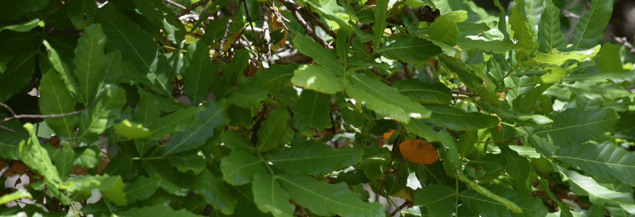 Kon | Ceylon Oak Tree | Schleichera oleosa | Trees in Sri Lanka