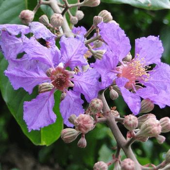 Murutha