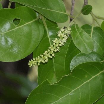Aralu