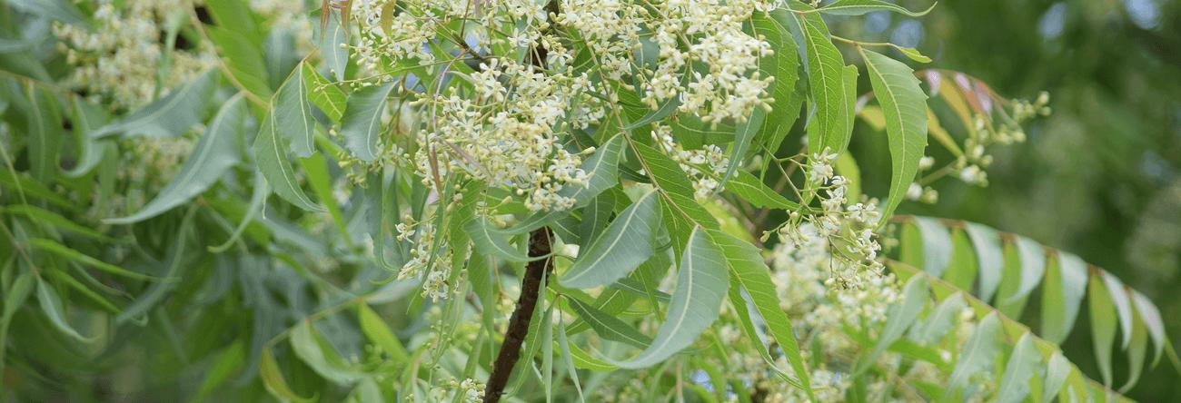Kohomba
