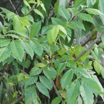 Hal-bembiya