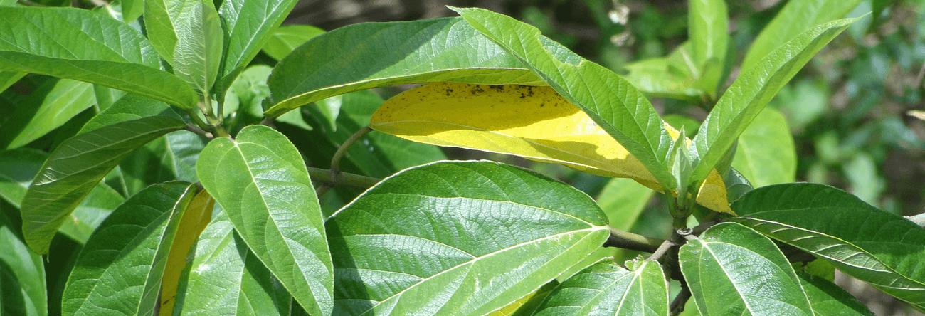 Kotadimbula