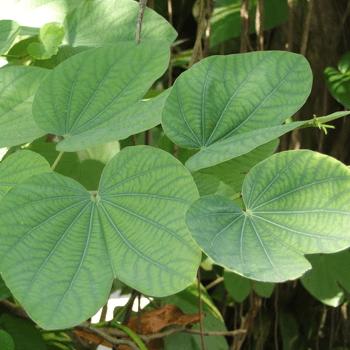 Kobolila