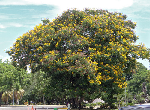 Yellow-flame tree