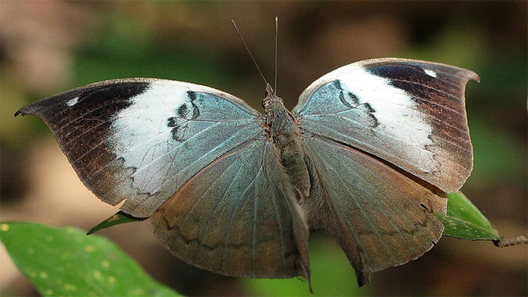 An urban 'butterfly experience' in Sri Lanka
