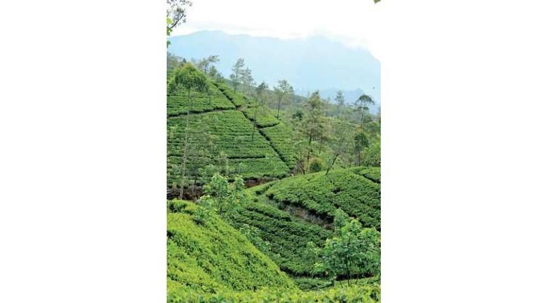 Kahawatte Plantation scores top 33 tea prices;...