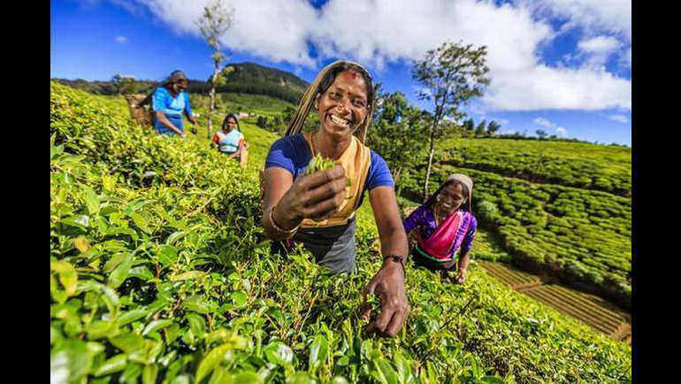 150 years after the first tea plantation...