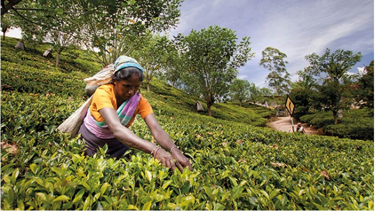 Restarting South Asia: The Tea industry faces...