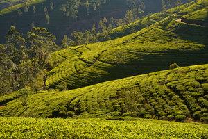 Dilmah Tea Garden GW - Copyright ...