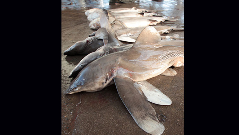Sharks and manta rays receive UN protection