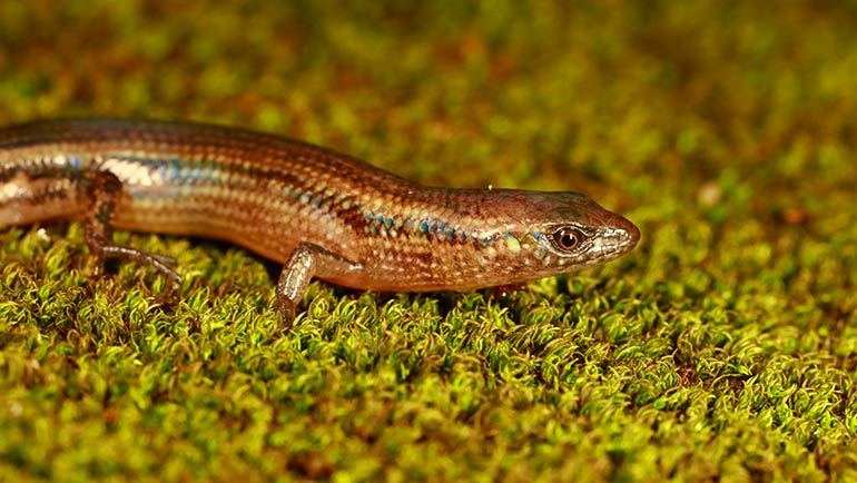 New Species of Skink Named After Dilmah Tea Founder, Merrill J. Fernando