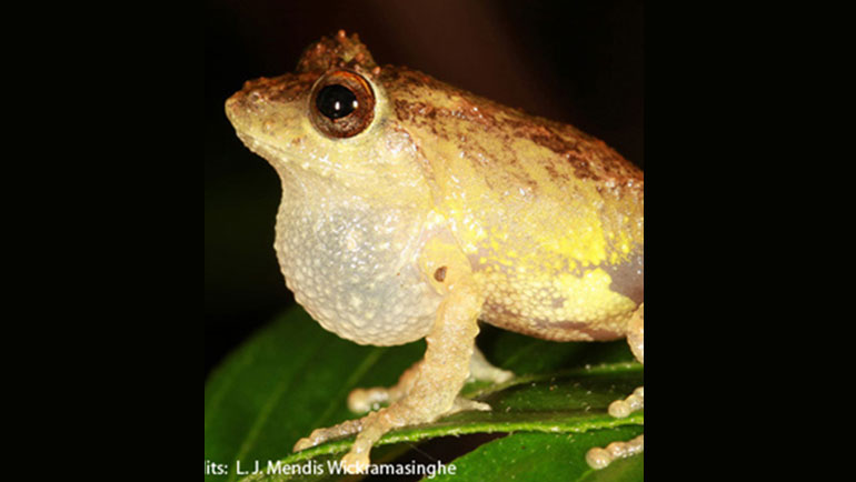 Newly Discovered Shrub Frog Named After Dilmah