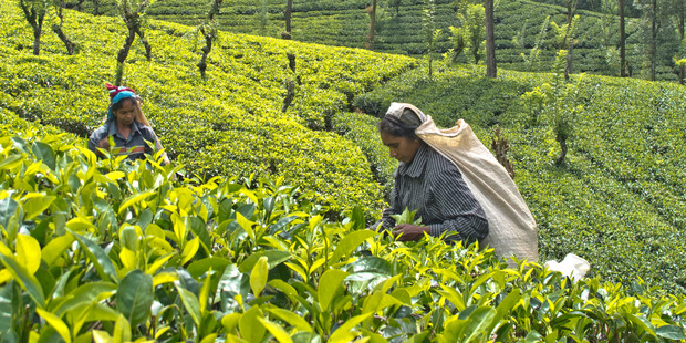 Sri Lanka: Fancy a cuppa?