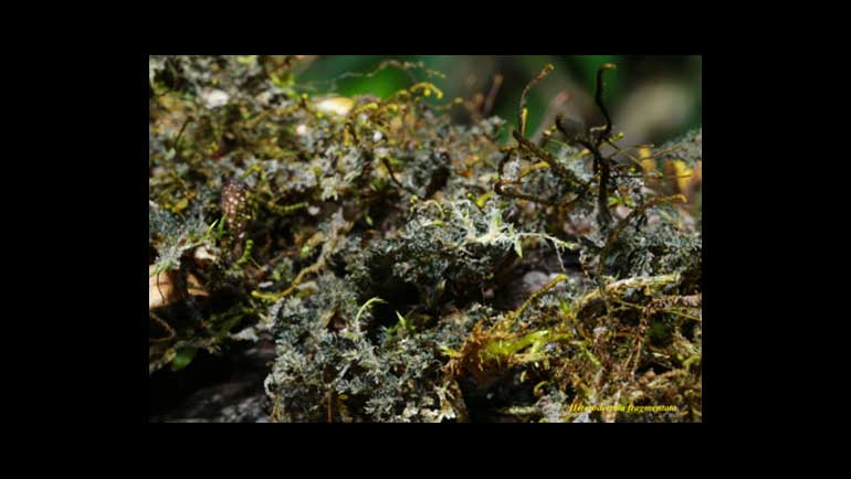 Nine New Lichen Species and 64 New Lichen Records Discovered in Sri Lanka