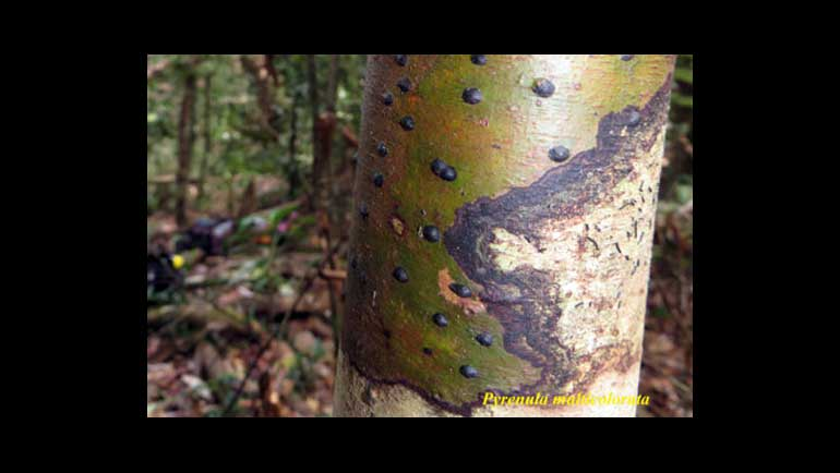 Nine New Lichen Species and 64 New Lichen Records Discovered in Sri Lanka